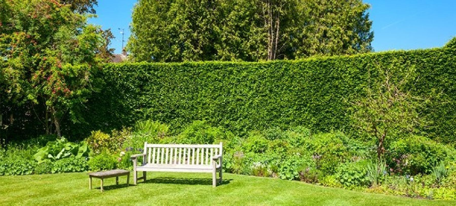 Hustý živý plot – rychle rostoucí habr (40 kusů)