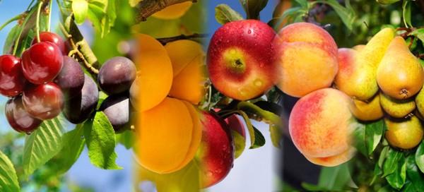 3 ks ovocných stromků dle výběru