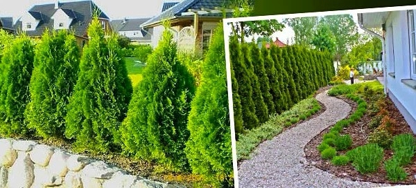 Thuja Occidentalis Smaragd – 10 kusů